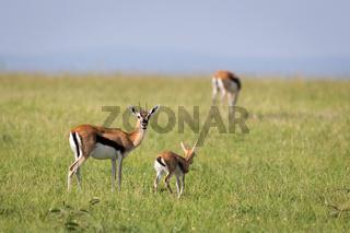A family of Thomson gazelles in the savannah of Kenya
