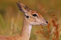 Oribi, Murchison Falls National Park Uganda (Ourebia ourebi)