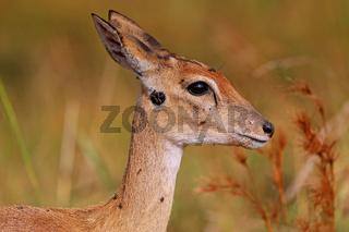 Bleichböckchen im Murchison Falls Nationalpark Uganda (Ourebia ourebi) | Oribi, Murchison Falls National Park Uganda (Ourebia ourebi)