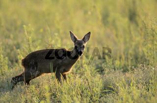 Rehkitz steht naessend auf einer Waldwiese - (Reh - Europaeisches Reh) / Roe Deer fawn stands peeing in a forest meadow - (European Roe Deer - Western Roe Deer) / Capreolus capreolus
