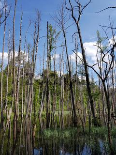 Tote Bäume im Erlenbruchwald im Briesetal, nördlich von Berlin