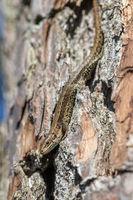 Viviparous lizard - Zootoca vivipara - sits upside down on a pine tree - Pinus sylvestris
