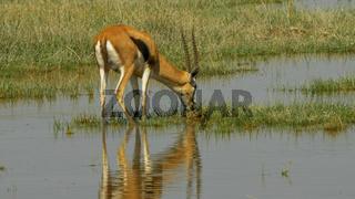 gazelle feeding in the wetlands of amboseli