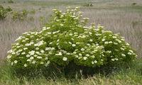 Blossom Elderbush