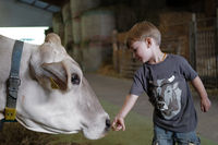 boy with cow in the cowshed