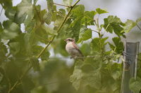 red-backed shrike (Lanius collurio) Germany, Baden-Wuerttemberg
