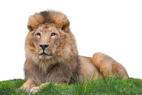 Portrait of proud lion body isolated on white background