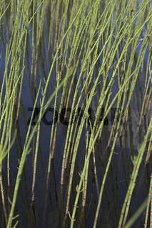 Teich-Schachtelhalm, Teichschachtelhalm, Schlamm-Schachtelhalm, Equisetum fluviatile, syn. Equisetum limosum