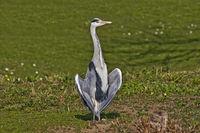 Grey heron 'Ardea cinerea'