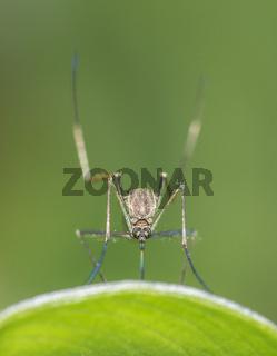 Mosquito, Sikkim, India