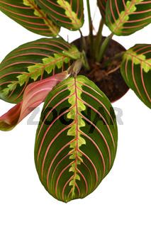 Blatt einer tropischen 'Maranta Leuconeura Fascinator' Zimmerpflanze