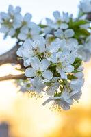 White cherry tree blossom in evening sunlight