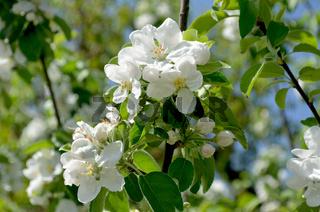 Flowering of pear tree in spring
