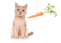 healthy cat kitten with a carrot