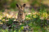 Cute brown hare jumping closer on grass in spring nature