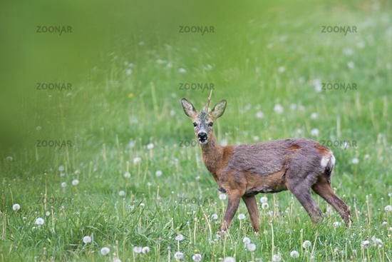 Roebuck grazes on a meadow with Dandelion