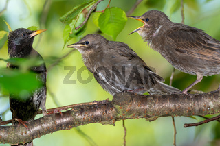 Hungry young starlings waiting for their food