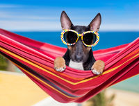 bull terrier dog on a hammok in summer