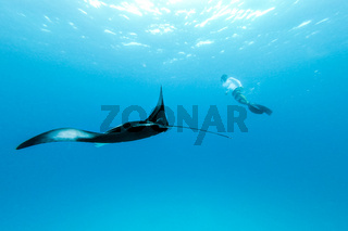 Underwater view of hovering Giant oceanic manta ray, Manta Birostris , and man free diving in blue ocean. Watching undersea world during adventure snorkeling tour on Maldives islands.