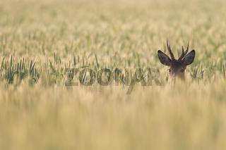 Rehbock aeugt aufmerksam aus einem Roggenfeld
