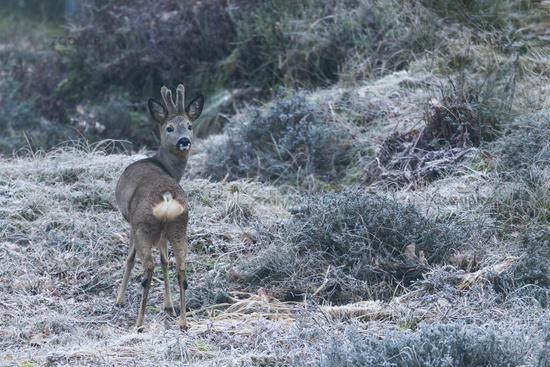Roebuck with velvet-covered antlers / Capreolus capreolus