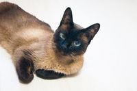 A beautiful Thai or Siamese cat lies on a white laminate floor.