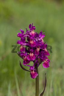 Holunder-Knabenkraut, Dactylorhiza sambucina, elder-flowered orchid