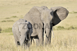Elefanten in der Masai Mara