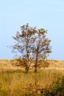 Bäume in den Dünen
