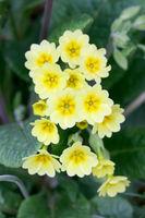 Primroses   (Primula)