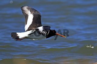 Austernfischer Altvogel im Flug