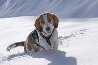 beagle tour in winter