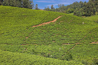 Tea plantation in Southern Uganda