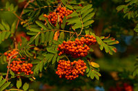 Sorbus aucuparia, commonly called rowan