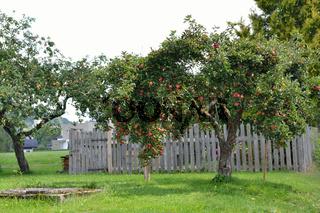 reife Aepfel am Apfelbaum und alter Brunnen