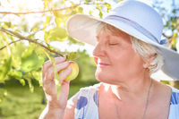 A satisfied elderly woman enjoys the smell of a blooming apple walking in her garden . Gifts of nature