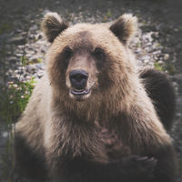 Portrait of wild angry and hungry Kamchatka brown bear looking at camera
