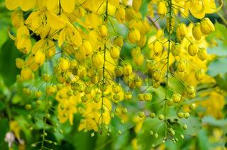 Purging Cassia or Ratchaphruek flowers ( Cassis fistula )