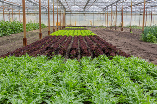 Different kinds of lettuce growing in a greenhouse