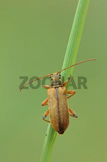 Eichen-Tiefaugenbock (Cortodera humeralis)