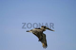 Brown Pelican (Pelecanus occidentalis) flying