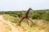 lonely giraffe running in the savannah