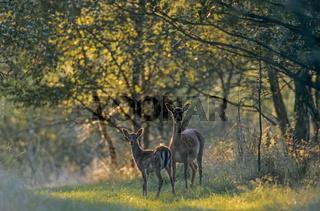 Damwild - (Damtier  Kalb) / Fallow Deer - (Hind  dam) / Dama dama - (Cervus dama)