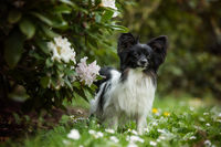 Cute papillon dog in a spring meadow