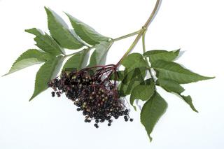Holunderbeere, Sambucus nigra,