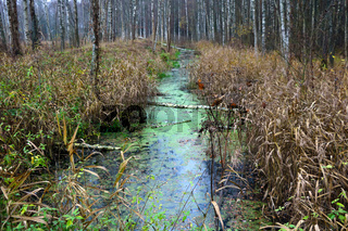 Wetland in the forest in the autumn morning.