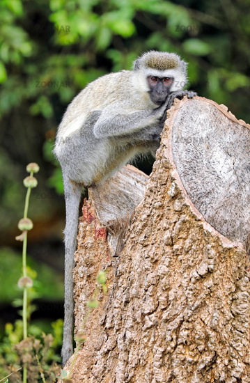 vervet monkey at Lake Mburo National Park in Uganda (Chlorocebus)