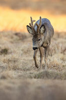 Vertical composition of roe deer buck moving on steppe in spring nature