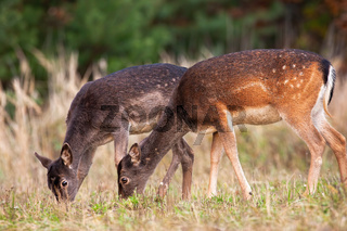 Two fallow deer hinds gazing on grassland in autumn nature
