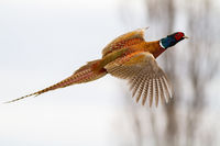 common pheasant flying in the air in winter nature.